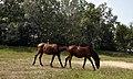 Kırkpınar Atlar - panoramio.jpg