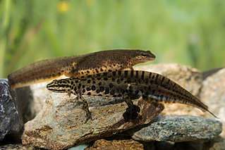 Greek smooth newt Species of amphibian