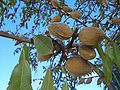 Kadina-almonds-0711.jpg