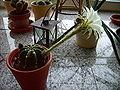 Kaktus002.jpg