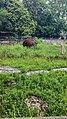 Kaliningrad Zoo - Bison.jpg
