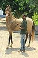Kanayo kathiawari stallion.jpg