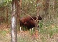 Kanha bison.jpg