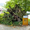 Kastanie (Sasbachwalden) jm52975 ji.jpg