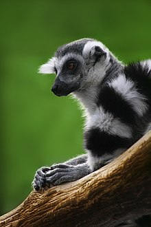 Ring-tailed kawanu resting with hands on wooden branch