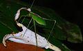 Katydid Nymph (Tettigoniidae) (8683694432).jpg