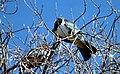 Kereru pigeons. N.Z. 1977.jpg