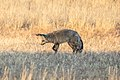 Kgalagadi fox 1M2A5969 (45063024465).jpg