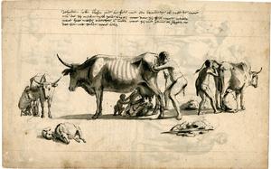 Hottentot Proclamation - Khoikhoi Milking WDL11278