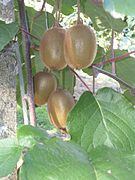 Production fruitière de kiwis de l'Adour
