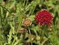 Knautia Knautia macedonica Flower Insect 1626px.jpg