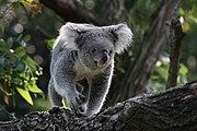 Koala in Zoo Duisburg.jpg