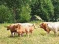 Koeien landgoed Anneville DSCF8524.JPG