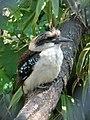 Kookaburra! (540041270).jpg