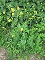 Korina 2011-06-20 Brassica nigra 1.jpg