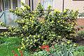 Korina 2013-03-30 Mahonia aquifolium 8.jpg