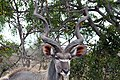 Kruger National Park, South Africa (14988876945).jpg