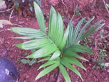 Areca nut - Wikipedia