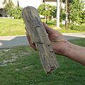 Kwaczala skamieniala araukaria.jpg