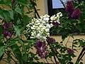 Kwitnący lilak - panoramio (1).jpg
