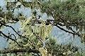 La Palma - Garafia - LP-109 - Pinus canariensis + Lichens 01 ies.jpg