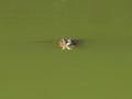 La babilla del lago - Ciudad Jardin - Cali (25321976752).png
