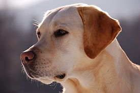 A yellow Labrador Retriever