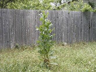 Lactuca serriola - Image: Lactuca serriola clump
