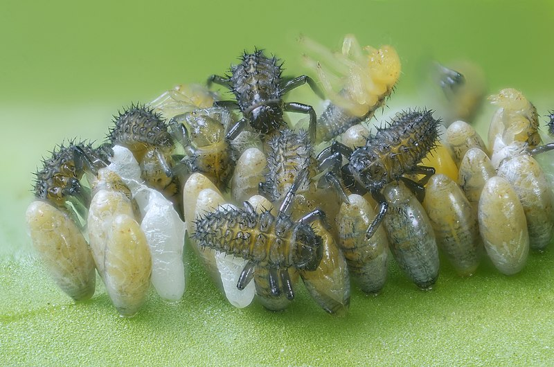 File:Ladybirds hatching (8284518921).jpg