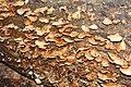 Laetiporus sulphureus - 2.jpg