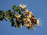 Lafoensia pacari (1)