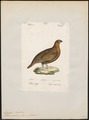 Lagopus scoticus - 1842-1848 - Print - Iconographia Zoologica - Special Collections University of Amsterdam - UBA01 IZ17100409.tif