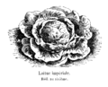 Laitue impériale Vilmorin-Andrieux 1904.png