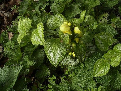 LamiumGaleobdolonArgentum-plant-hr