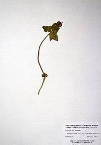 Lamium purpureum BW-1979-0522-0352.jpg