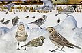 Lapland Bunting from the Crossley ID Guide Britain and Ireland.jpg