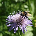 Large Narcissus fly on Field Scabious (9084523214).jpg