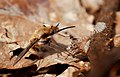 Large bee-fly (Bombylius major), Parc de Woluwé, Brussels (31196201160).jpg