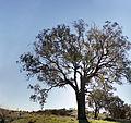 Large branching eucalypt.jpg
