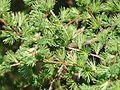 Larix × marschlinsii Mialet (3).JPG