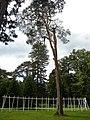 Larix kaempferi 06.jpg