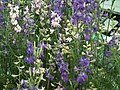 Larkspur from Lalbagh flower show Aug 2013 8061.JPG