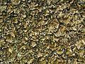 Lasallia pensylvanica - Flickr - pellaea (2).jpg