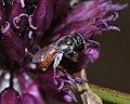 Lasioglossum pseudosphecodimorphum female 1.jpg