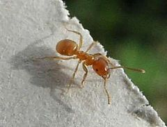 yellow meadow ant wikipedia. Black Bedroom Furniture Sets. Home Design Ideas