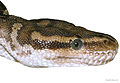 Lateral View of Head of Python anchietae.jpg