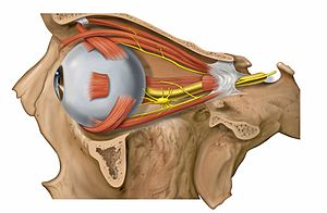 Lateral eye and orbit anatomy with nerves