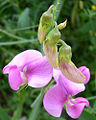 Lathyrus latifolius flowers.jpg