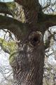 Lauterbach Blitzenrod Hollow Oak Mar N.png
