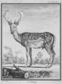 Le daim - Fallow deer buck - Cervus dama - Gallica - ark 12148-btv1b2300253d-f29.png